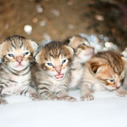 All Savannah kittens IMG_0769.jpg