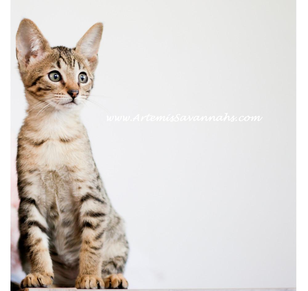 F8 Savannah Cat