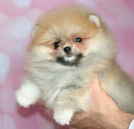 pomeranian puppies, pandora-s (2).jpg