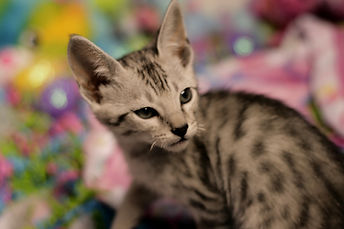Silver Spotted Savannah Cat