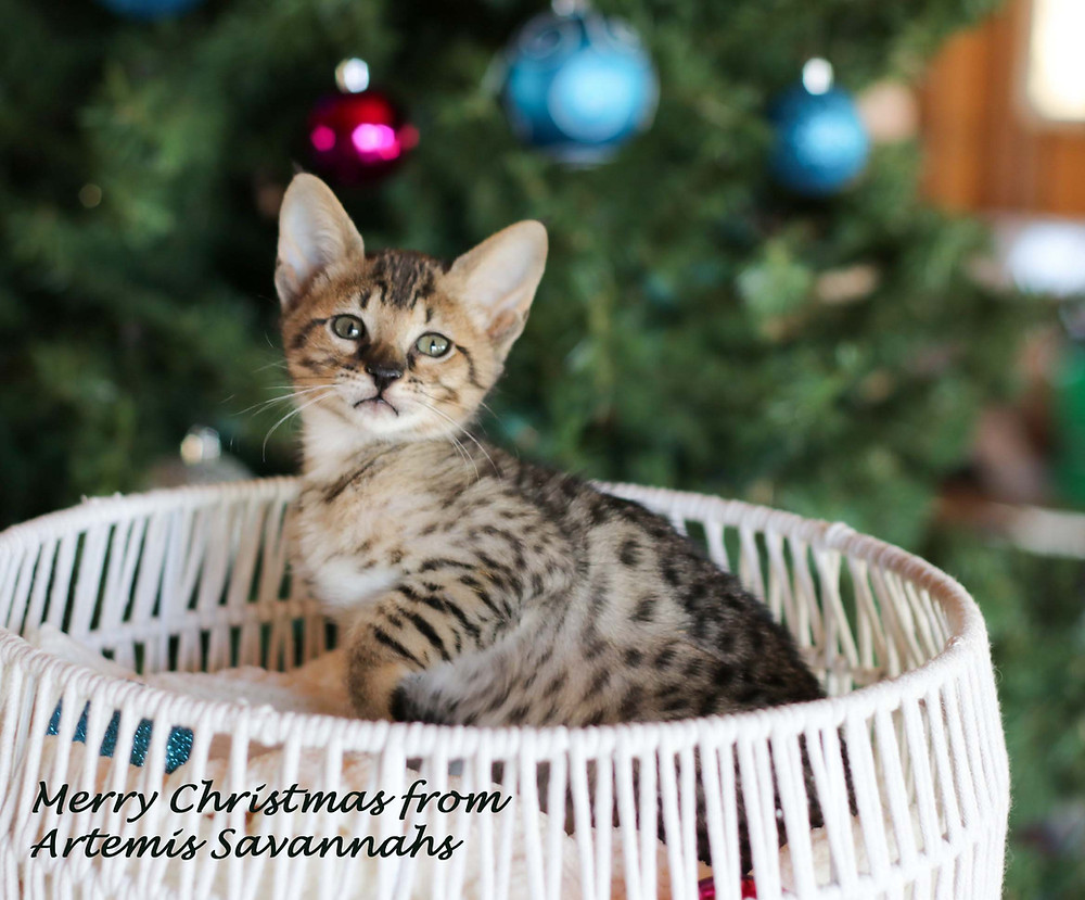 SBT Savannah Kitten