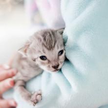 Savannah Cats for Sale, Silver Girl 4.jp