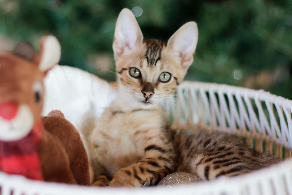 SBT Savannah Cat