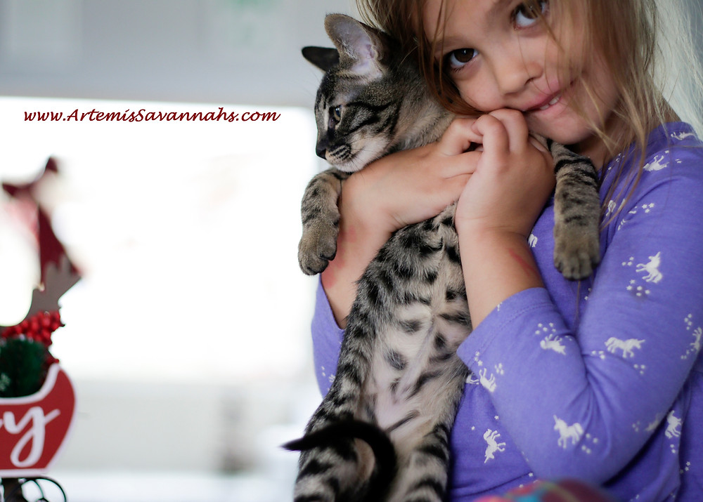 Savannah cat breeder