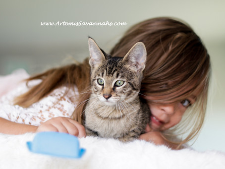 Are Savannah Cats Hypoallergenic? Litter box trained? What is F, A, B, C, & SBT? Vaccines Needed?