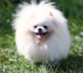 White Pomeranian.jpg