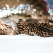 All Savannah kittens IMG_0735.jpg