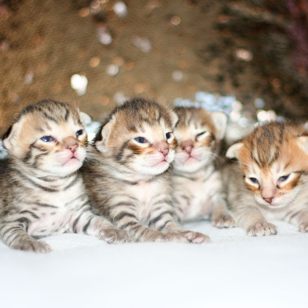 All Savannah kittens IMG_0773.jpg
