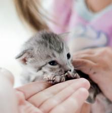 Savannah Cats for Sale, Silver Girl 6.jp