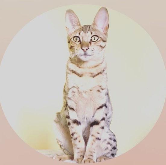 Savannah cats for sale, Khari.jpg