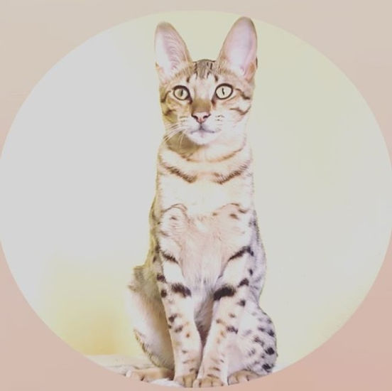 Savannah cats for sale, Khari.jpg