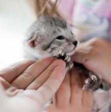 Savannah Cats for Sale, Silver Girl 7.jp