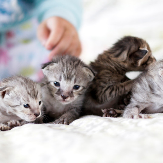Cute Savannah Kittens 4.jpg