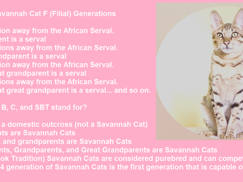 Savannah Cat Filial Generations (F1, F2, ect) Explained with Test Questions for Understanding