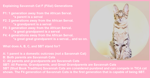 Savannah Cat Filial Generations, F number Savannah Cats, What does the F number mean?