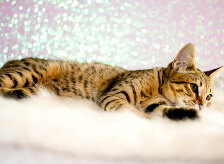 How much is a Savannah Cat?