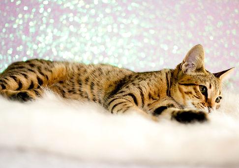 Savannah Cat, Oriaku.jpg