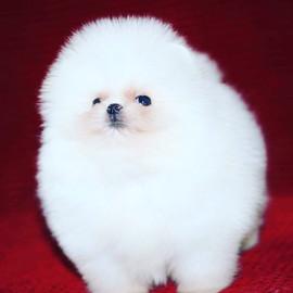 white pomeranian puppy.JPG
