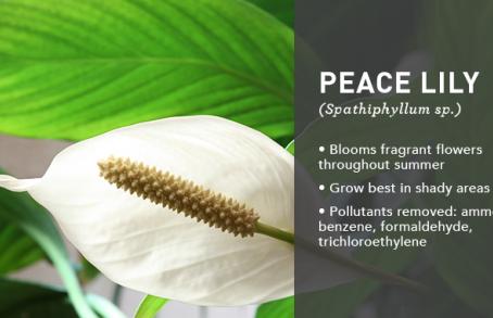 Houseplants for Health and Beauty