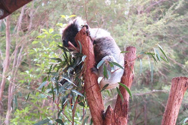 Healesville Sanctuary | Melbourne