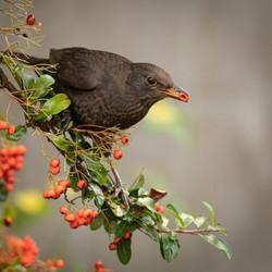 Adv 3rd Open -John Fox -Hungry Blackbird