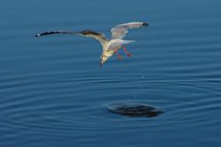 2nd - Ray Fitzmaurice-Theme-Gull Feeding