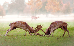 3rd -Shay Farrelly -Deer_Rutting