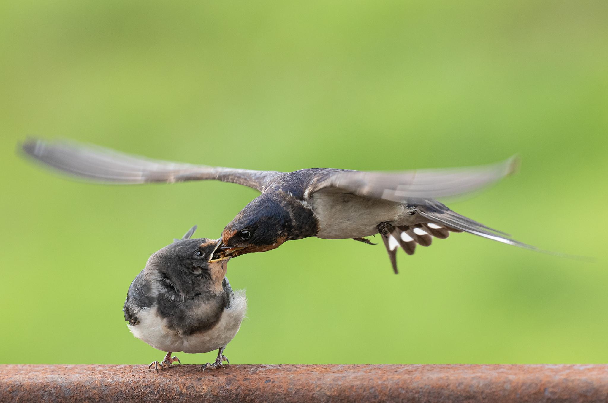 16 - Irish Barn Swallows