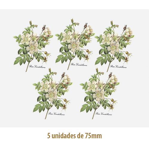 Rosa Candolleana - 75mm