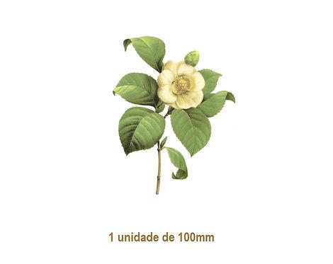 Camellia Japonica - 100mm