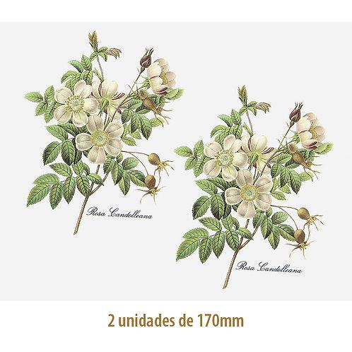 Rosa Candolleana - 170mm