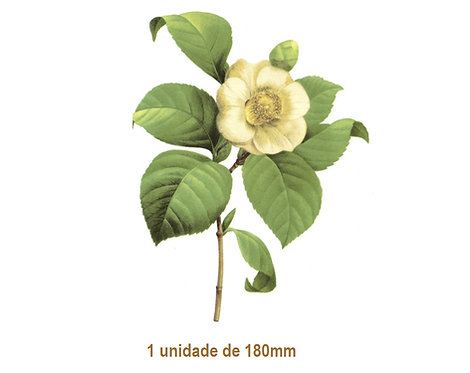Camellia Japonica - 180mm