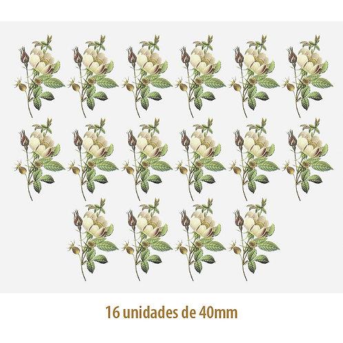 Rosa Candolleana - 40mm