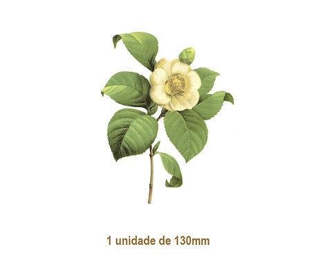 Camellia Japonica - 130mm