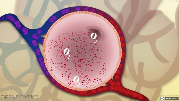 Gas Exchange in the Alveoli in a Healthy Patient