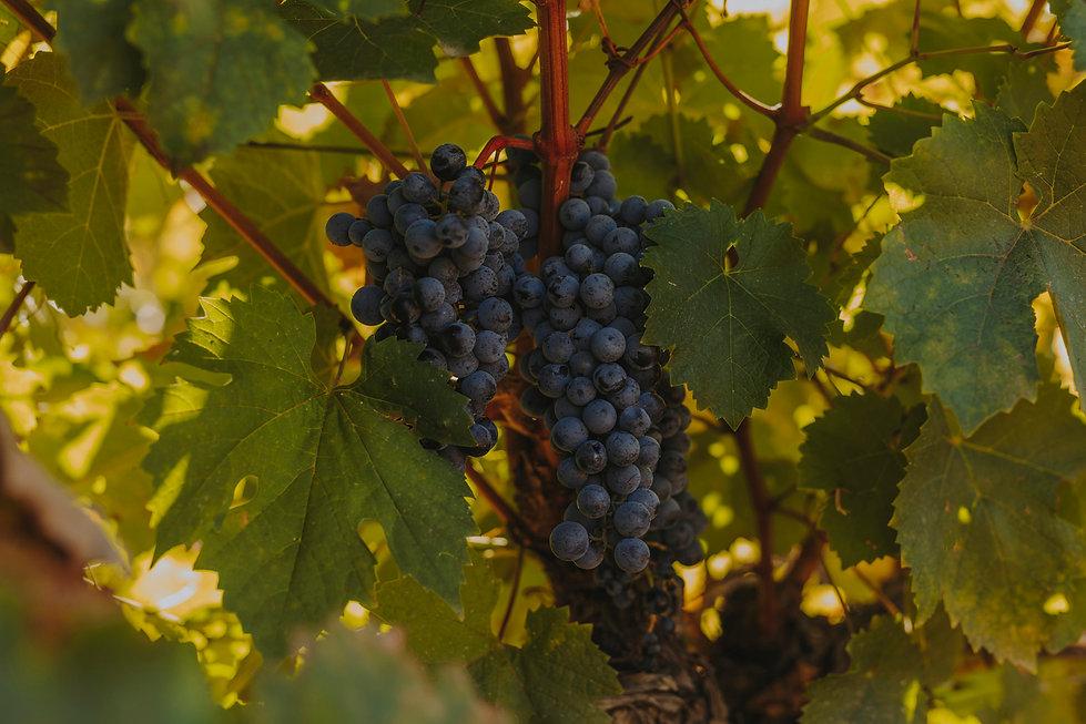 vinovillota-vid-tempranillo-cepa.jpg