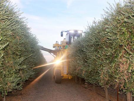 Extra vierge olijfolie, de toekomst...