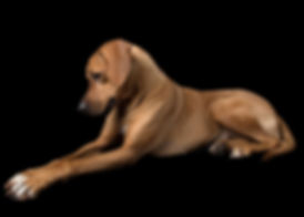 Ridgeback - Charlee - Female - Fixed.jpg