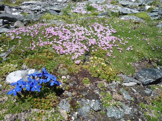 Blumen_am_Tauernhöhenweg.jpg