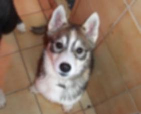 Minaska's Laïla, Husky
