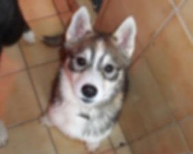 Minaska's Laïla, Siberian husky
