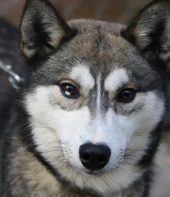Minaska's Loufranc Atchy, husky