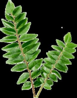 curry-leaf-kari-patta-11562949791brwvtzo