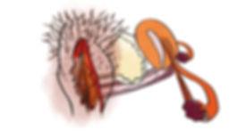 Vulve_organes_internes_Profil_HD.jpg