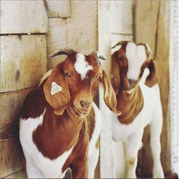 Goats%201_edited.jpg