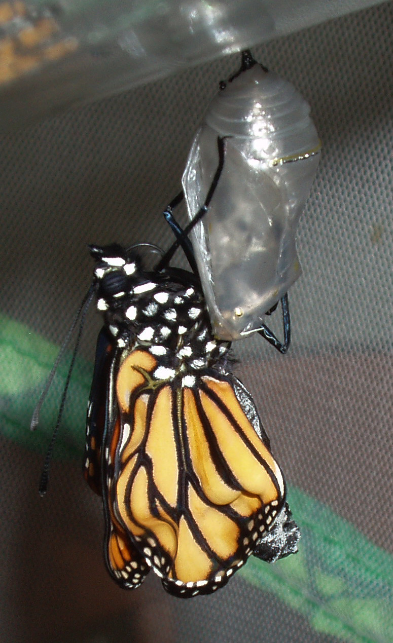 Monarch Recently Emerged
