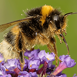 bumble-bee (1).png