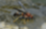 brown-paper-wasp.png