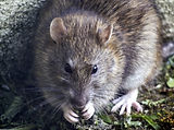 Rattus-norvegicus2.jpg