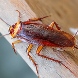 american-cockroach.png